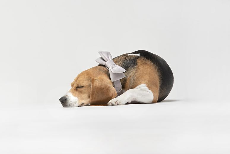 obroza-mucha-pies-beagle-premium-bowtie-