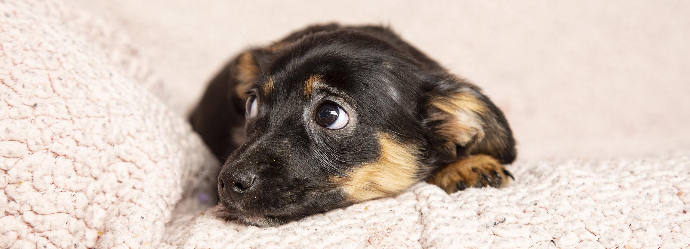Stres u psa: przyczyny, objawy, zapobieganie